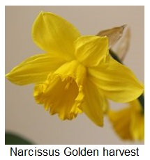 Narcissus Golden harvest