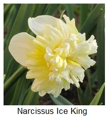 Narcissus Ice king