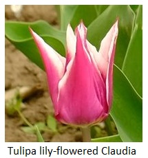 Tulipa lily-flowered Claudia